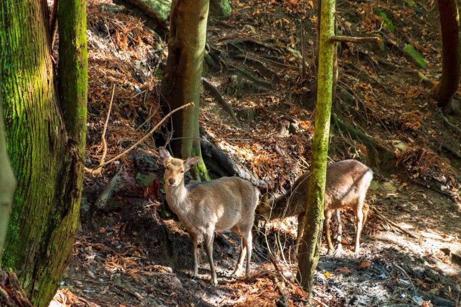 Miyajima deer on mount misen while hiking in Japan
