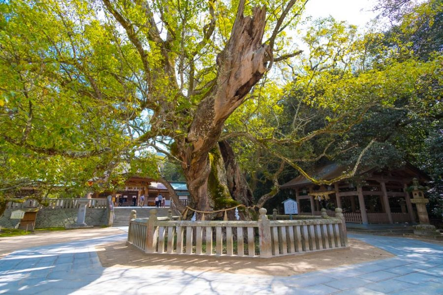 big camphor tree in front of Japanese shrine in ehime, japan