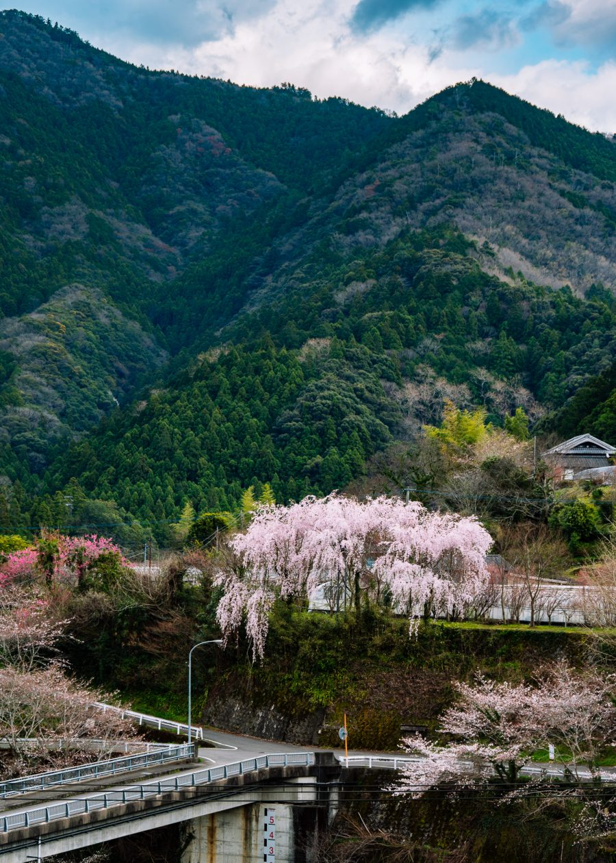 cherry blossoms bloom in the mountains of Tokushima near Kamikatsu