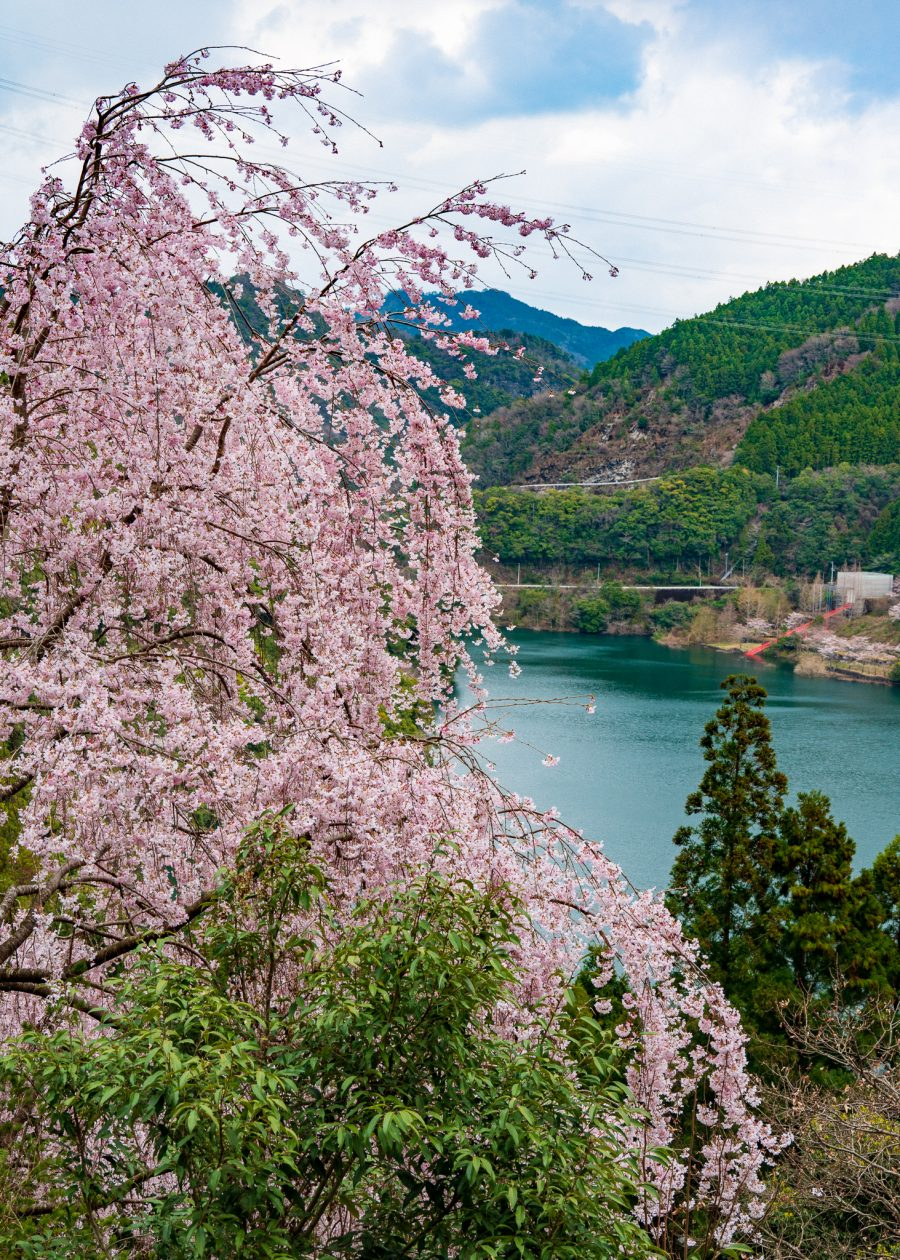 admiring cherry blossoms in Japan in the Setouchi region