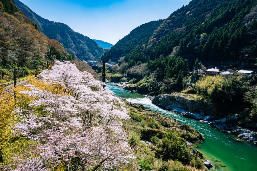 Cherry blossoms bloom in the Iya Valley of Japan in Setouchi