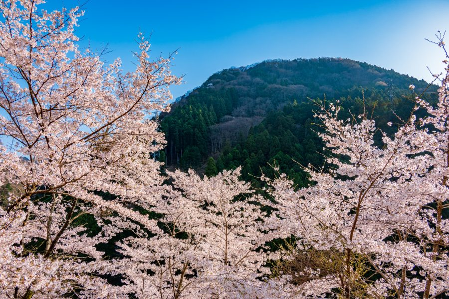 Cherry blossoms frame the mountains overlooking the Iya Valley in Setouchi
