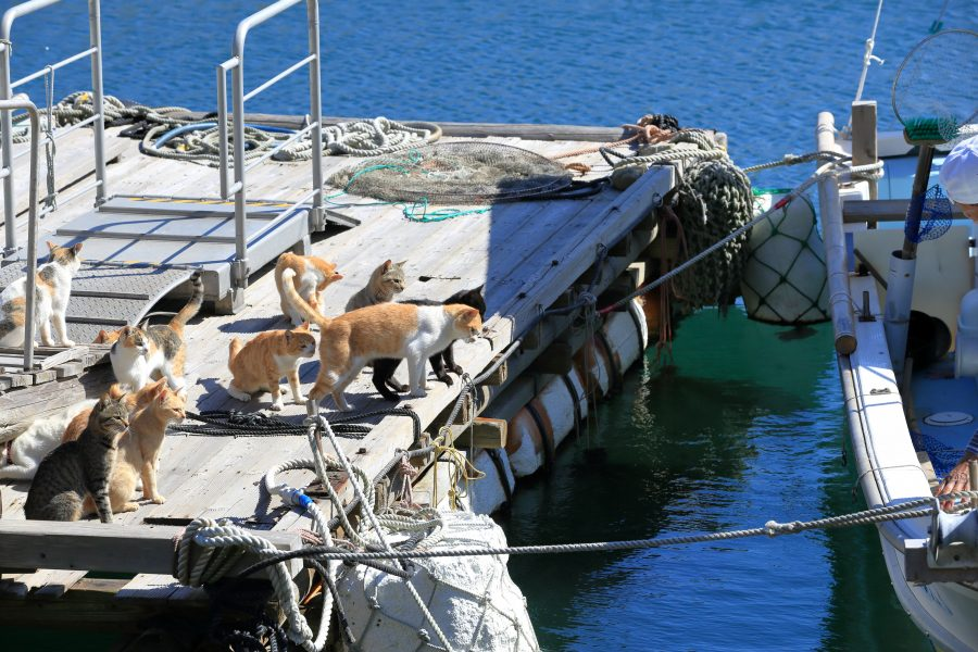 Cats on the port of a cat island in Japan
