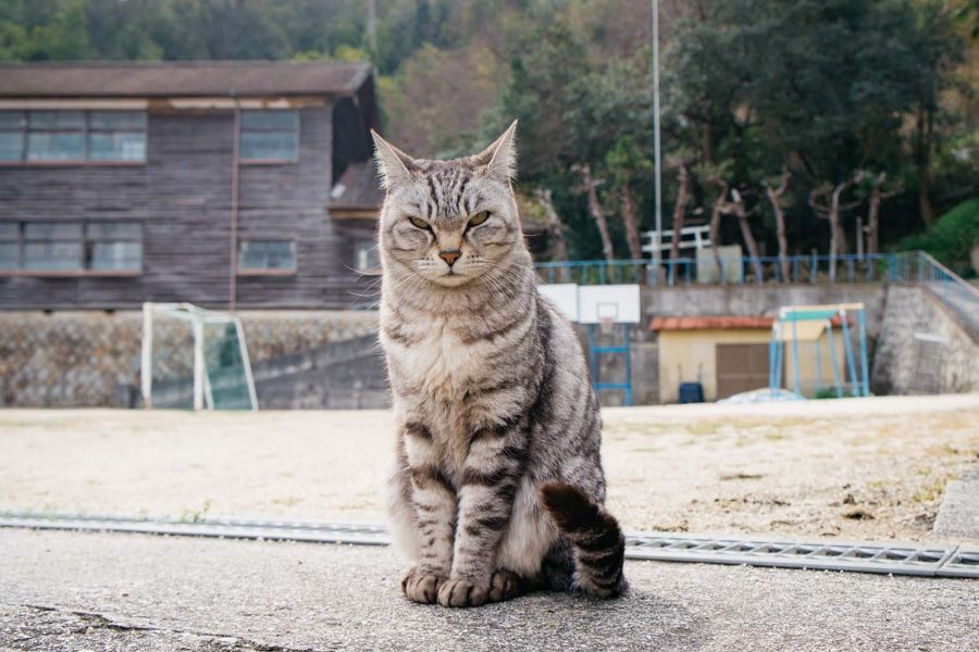 Light gray tabby cat in front of Manabeshima middle school.